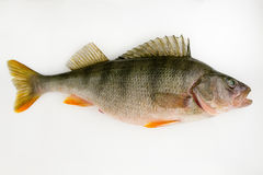 Live fish perch Royalty Free Stock Photo