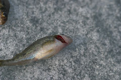 Live fish. red gills. Close-up Royalty Free Stock Photo