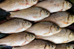 Live fish (carp). Fresh catch. The top view. Stock Image