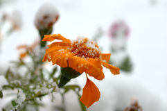 Live flowers in first winter snow. Live flowers in first winter snow - scenic natural view Royalty Free Stock Photos