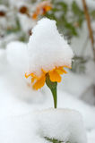 Live flowers in first winter snow. Stock Photo