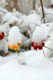 Live flowers in first winter snow. Stock Photos