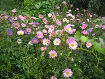 Live flowers on the flowerbed in the park. Flowers of pink, purple, red in the green. Summer is fluttering royalty free stock photos