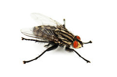 Live fly Royalty Free Stock Photos
