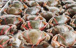 Live fresh crab Royalty Free Stock Images