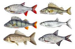 Live fresh fish isolated set Royalty Free Stock Photos