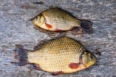 Live freshwater fish carp Stock Image