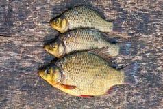 Live freshwater fish carp Stock Images