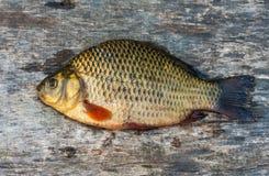 Live freshwater fish carp Stock Photos