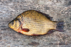 Live freshwater fish carp Royalty Free Stock Photos