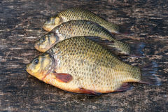 Live freshwater fish crucian Royalty Free Stock Photos
