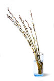 Live furry pussy willow catkins. Cover line the branches rising out of a clear glass vase on a white background Stock Photo