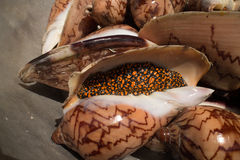 Live Gastropods for Sale in Asia. Live gastropods for sale for food on a Cambodian island Stock Photography