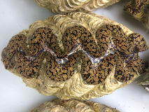 Live Giant clam from Fiji Royalty Free Stock Photo