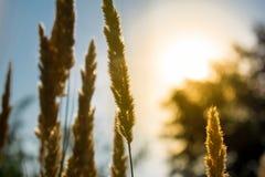 Live Golden-aren Natuurlijke achtergrond van vegetatie door de stralen van de zon Op de achtergrond de hemel en greens stock foto's
