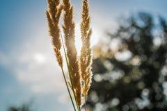 Live Golden-aren Natuurlijke achtergrond van vegetatie door de stralen van de zon Op de achtergrond de hemel en greens royalty-vrije stock foto's