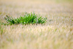 Live Grass in Dead Grass Royalty Free Stock Images