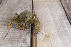 Live green crayfish Royalty Free Stock Photos