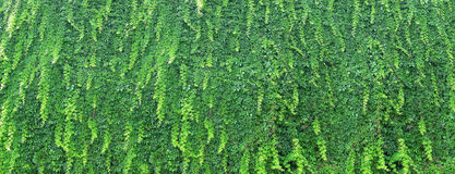 Live green wall in the garden - overgrown with ivy Royalty Free Stock Photo