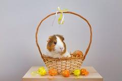 Live Guinea Pig dans un panier en osier décoré dans le motif de Pâques photo stock