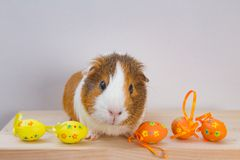 Live Guinea Pig with Easter eggs royalty free stock photography