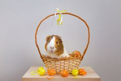 Live Guinea Pig in a wicker basket decorated in Easter motif stock images