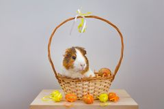 Live Guinea Pig in a wicker basket decorated in Easter motif stock photo