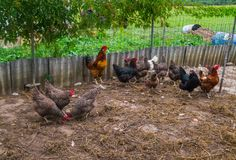 Live homemade chickens on the backyard in the village stock images