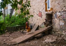 Live homemade chickens on the backyard in the village.  royalty free stock images