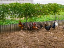 Live homemade chickens on the backyard in the village.  royalty free stock photo