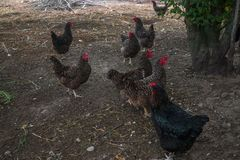 Live homemade chickens on the backyard in the village.  stock photography
