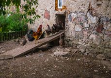 Live homemade chickens on the backyard in the village.  stock photos