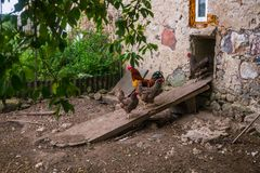 Live homemade chickens on the backyard in the village.  stock photo