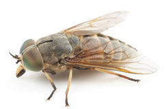 Live horsefly isolated on white background Stock Photography