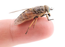 Live horsefly sitting on finger isolated on white Royalty Free Stock Photos