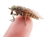 Live horsefly sitting on finger isolated on white Stock Photo