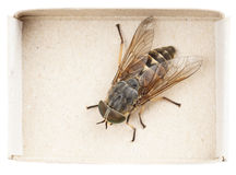 Live horsefly sitting in matchbox isolated Stock Photo