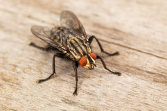 Live house fly Stock Photo