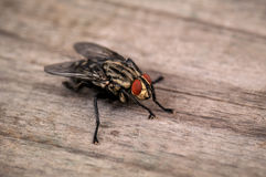 Live house fly Royalty Free Stock Photography