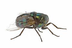 Live Household Fly Macro Royalty Free Stock Photography