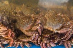 Live Japanese hairy crabs at retail market in Hokkaido, Japan. During winter season Stock Photos