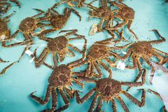 Live Japanese king crabs at retail market in Hokkaido, Japan. During winter season Royalty Free Stock Photos