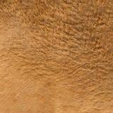 Live kangaroo fur texture Stock Images
