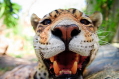 Live Leopard portrait close up front view Stock Photos