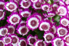 Live lilac Cineraria, plant with compact masses of bright flowers. Bunch of pink flowers royalty free stock photography