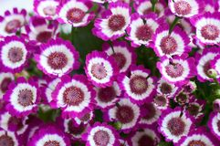 Live lilac Cineraria, plant with compact masses of bright flowers. Bunch of pink flowers stock image