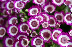 Live lilac Cineraria, plant with compact masses of bright flowers. Bunch of pink flowers. Live lilac Cineraria, plant with compact masses of bright flowers royalty free stock photo