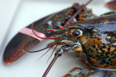Live Lobster royalty free stock photo