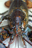 Live Lobster. A fresh live lobster in a tank before it is cooked Royalty Free Stock Image