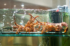 Live Lobster. In aquarium display on a restaurant window Royalty Free Stock Image